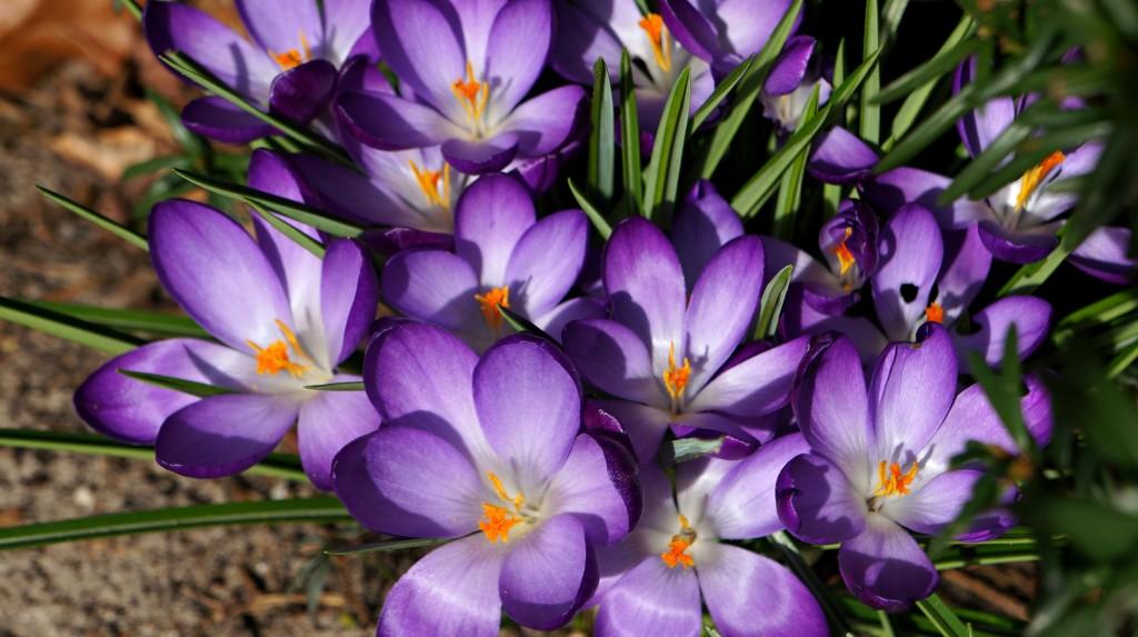 paarse krokusjes